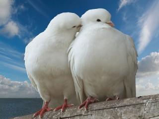 Собирать пазл Любовь и голуби онлайн