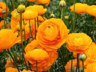Собирать пазл Лютики садовые онлайн