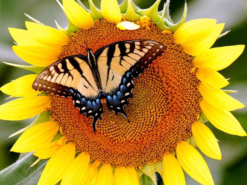 Пазл Собирать пазлы онлайн - Махаон бабочка