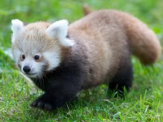 Собирать пазл Малая панда онлайн