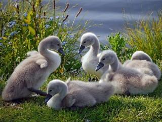 Собирать пазл Маленькие лебеди онлайн