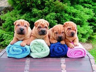 Собирать пазл Маленькие шарпеи онлайн