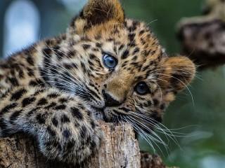 Собирать пазл Маленький леопард онлайн