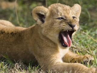 Собирать пазл Маленький лев онлайн