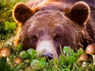 Собирать пазл Медведь и грибы онлайн