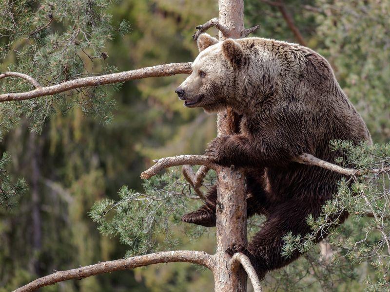Пазл Собирать пазлы онлайн - Медведь на сосне