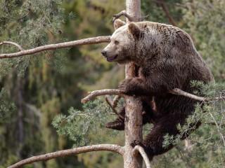 Собирать пазл Медведь на сосне онлайн
