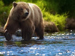 Собирать пазл Медведь в воде онлайн