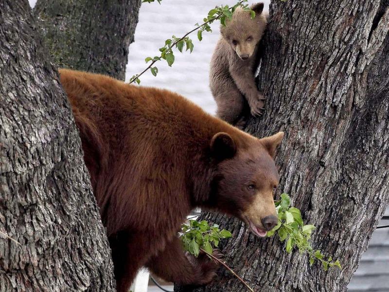 Пазл Собирать пазлы онлайн - Медведи