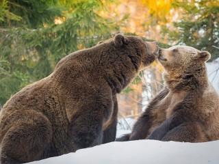 Собирать пазл Медведи в лесу онлайн
