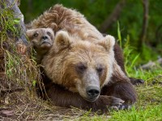 Собирать пазл Медведица с медвежонком онлайн