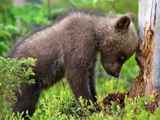 Собирать пазл Медвежонок онлайн