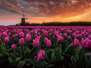 Собирать пазл Мельница и тюльпаны онлайн