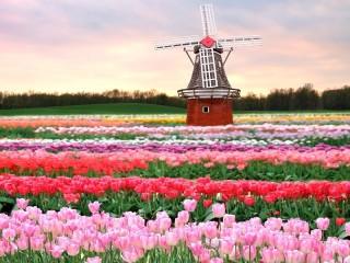 Собирать пазл Мельница в тюльпанах онлайн
