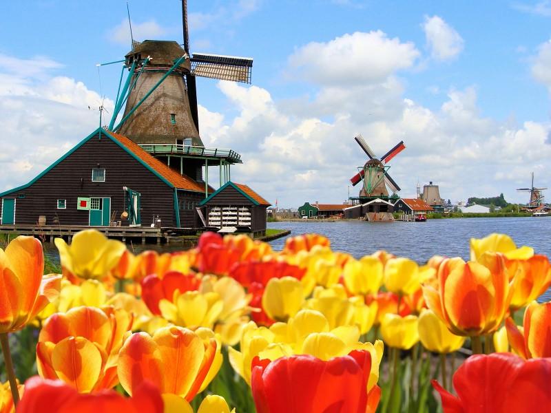 Пазл Собирать пазлы онлайн - Мельницы  и тюльпаны