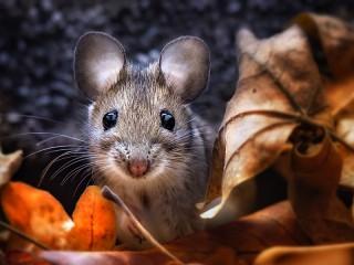 Собирать пазл Мышь в листьях онлайн