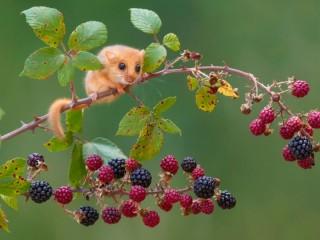 Собирать пазл Мышка на ветке онлайн