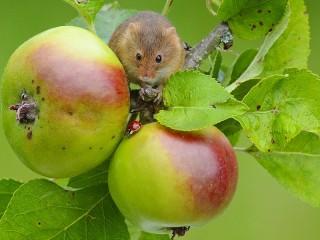 Собирать пазл Мышка на яблоне онлайн