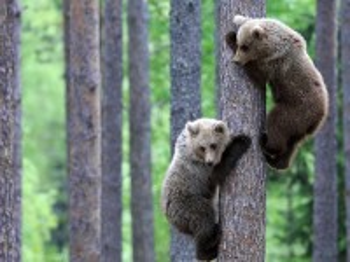 Собирать пазл Мишки на дереве онлайн