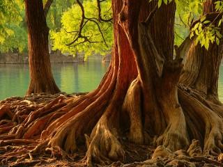 Собирать пазл Могучее дерево онлайн