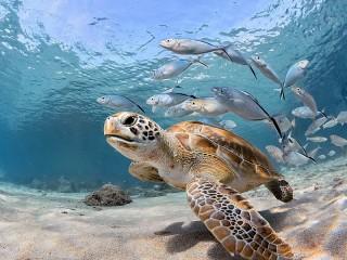 Собирать пазл Морская черепаха онлайн