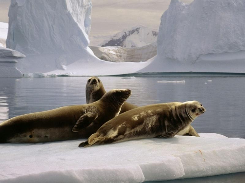 Пазл Собирать пазлы онлайн - Морские котики