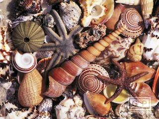 Собирать пазл Морские ракушки онлайн