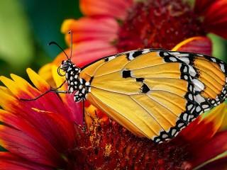 Собирать пазл Мотылёк на цветке онлайн