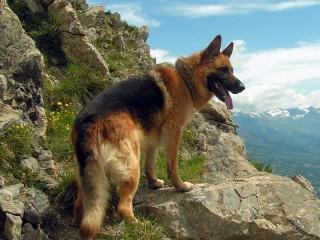 Собирать пазл Немецкая овчарка онлайн