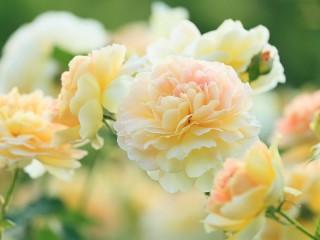 Собирать пазл Нежные цветы онлайн
