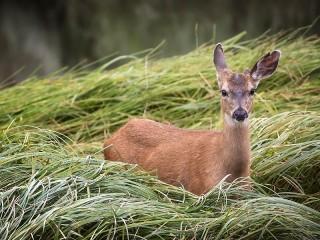 Собирать пазл Олень в траве онлайн