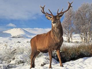 Собирать пазл Олень зимой онлайн