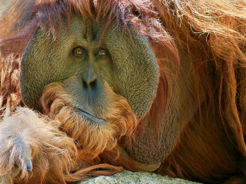 Пазл Собирать пазлы онлайн - Орангутан
