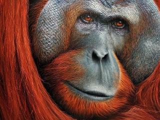 Собирать пазл Орангутан онлайн
