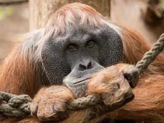Собирать пазл Орангутан загрустил онлайн
