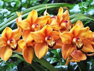 Собирать пазл Оранжевые орхидеи онлайн