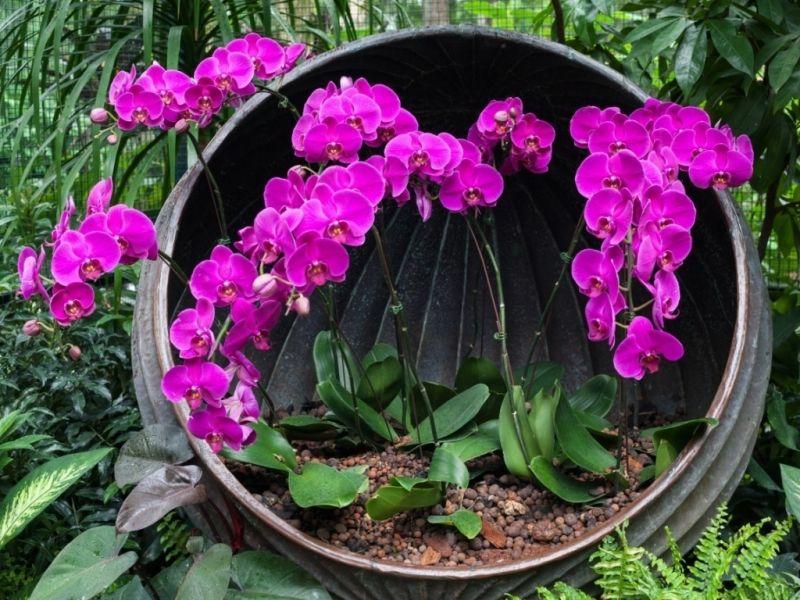 Пазл Собирать пазлы онлайн - Орхидеи в горшочке