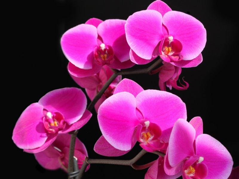 Пазл Собирать пазлы онлайн - Орхидея малиновая