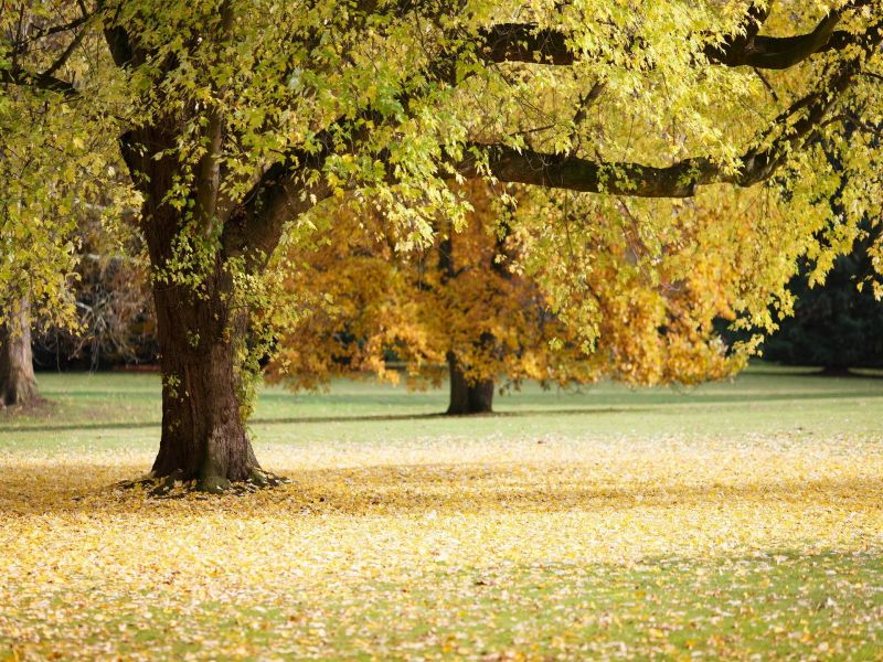 Пазл Собирать пазлы онлайн - Осеннее дерево