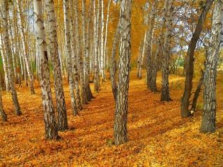 Собирать пазл Осенние березы онлайн