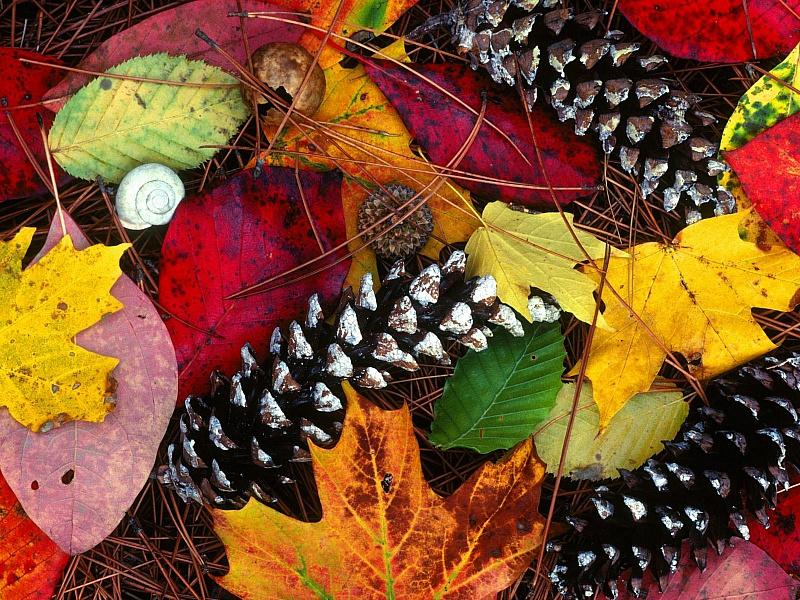 Пазл Собирать пазлы онлайн - Осенние листья и шишки