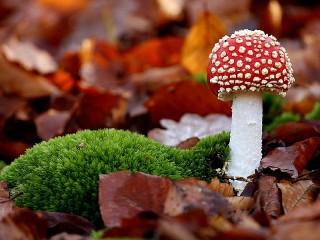 Собирать пазл Осенний мухомор онлайн