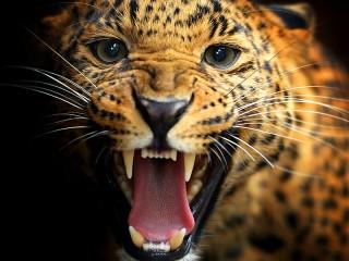 Собирать пазл Оскал леопарда онлайн