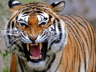 Собирать пазл Оскал тигра онлайн