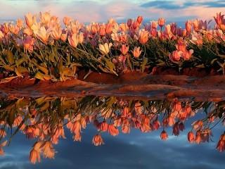 Собирать пазл Отражение тюльпанов онлайн