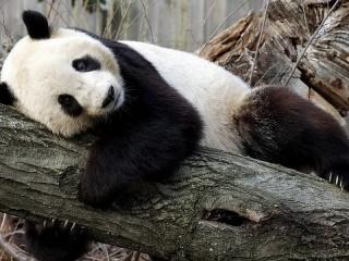 Собирать пазл Панда онлайн