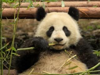 Собирать пазл Панда кушает онлайн