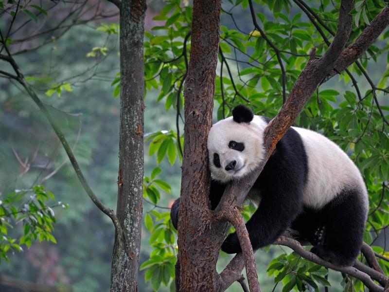 Пазл Собирать пазлы онлайн - Панда на дереве