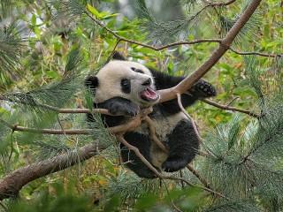 Собирать пазл Панда на сосне онлайн