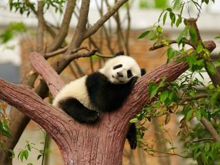 Собирать пазл Панда отдыхает онлайн